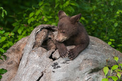 Black Bear Cub Ursus americanus Appears to Pray in Log. Captive animal Royalty Free Stock Image