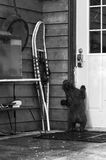 Black Bear Cub (Ursus americanus) Attempts to Get Into Building Stock Photography