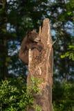 Black Bear Cub (Ursus americanus) Clings to Tree Royalty Free Stock Image