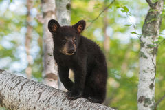 Black Bear Cub (Ursus americanus) Ears Forward Royalty Free Stock Photography