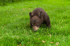 Black Bear Cub (Ursus americanus) in the Grass Stock Image