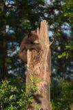 Black Bear Cub Ursus americanus Holds on to Tree Stock Image