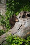 Black Bear Cub Ursus americanus Looks Around Side of Log Royalty Free Stock Images