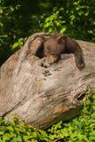 Black Bear Cub Ursus americanus Looks Down Log Stock Photo