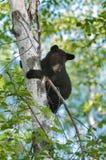Black Bear Cub (Ursus americanus) Looks down from Tree Royalty Free Stock Photography