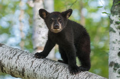 Black Bear Cub (Ursus americanus) Looks Out from Branch Royalty Free Stock Image