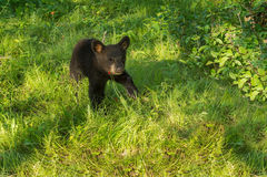 Black Bear Cub (Ursus americanus) Looks Up from Ground Stock Photos