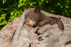 Black Bear Cub Ursus americanus Relaxes in Log. Captive animal Stock Photos