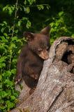 Black Bear Cub Ursus americanus Rests On Log Stock Photos