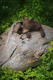 Black Bear Cub Ursus americanus Rests In Log Stock Photo
