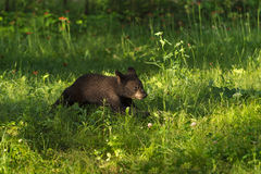 Black Bear Cub (Ursus americanus) Runs Across Grass Royalty Free Stock Photo