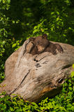 Black Bear Cub Ursus americanus Sits in Log. Captive animal Royalty Free Stock Photography