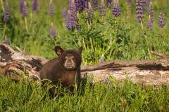 Black Bear Cub Ursus americanus Sits Next to Log Stock Image