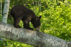 Black Bear Cub (Ursus americanus) Sniffs Branch Stock Photography