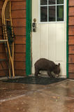 Black Bear Cub Ursus americanus Sniffs at Door. Captive animal Royalty Free Stock Photos