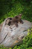 Black Bear Cub Ursus americanus Sniffs at Log Stock Photo