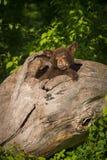 Black Bear Cub Ursus americanus Snug in Log Stock Photo
