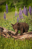 Black Bear Cub Ursus americanus Stands Atop Log. Captive animal Royalty Free Stock Image