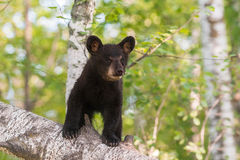 Black Bear Cub (Ursus americanus) Stands on Branch Stock Image