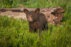 Black Bear Cub Ursus americanus Stands Near Log. Captive animal Stock Photography