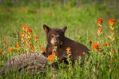 Free Black Bear Cub Ursus Americanus Stands With Indian Paintbrush Royalty Free Stock Images - 112911659