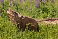 Black Bear Cub Ursus americanus Sticks Out Tongue Stock Photos