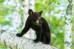 Black Bear Cub (Ursus americanus) Turns on Branch Stock Photography