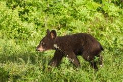 Black Bear Cub (Ursus americanus) Walk Left Through Grass Stock Photo