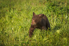 Black Bear Cub Ursus americanus Walks Forward Through Grass. Captive animal Stock Photo