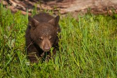 Black Bear Cub Ursus americanus Walks Forward Through Grass. Captive animal Stock Image