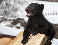 Black bear cub yawning Royalty Free Stock Photography