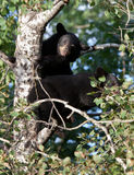 Black bear cubs Royalty Free Stock Photography