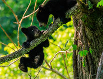 Free BLACK BEAR CUBS Royalty Free Stock Photo - 63552125