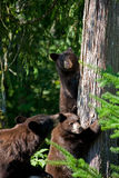 Black bear cubs and mother Stock Images