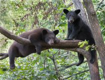 Black bear cubs. A pair of black bear cubs relax in a tree Royalty Free Stock Image
