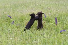 Black Bear Cubs Playing in a Meadow Stock Image