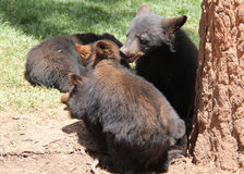 Black Bear Cubs Playing. By a tree Stock Photos