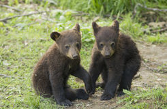 Black bear cubs playing Royalty Free Stock Image