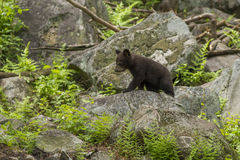 Black bear cubs playing Royalty Free Stock Images