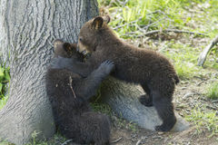 Black bear cubs playing Stock Images