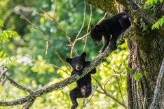 BLACK BEAR CUBS Stock Image