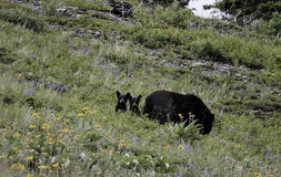Black bear cubs. Two cubs stare curiously at the photographer as mom (sow) grazes nearby.  Waterton Lakes national park in summer Royalty Free Stock Photography