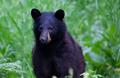 Black Bear. Cute Black bear grazing in a field of grasses Stock Images