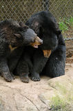 Black Bear Doesn't Want to Be Disturbed Stock Photos