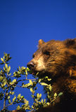 Black Bear Eating Acorns Royalty Free Stock Image
