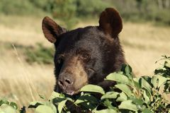 Black Bear Eating Buffalo Berries Royalty Free Stock Image