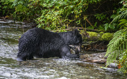 Black bear eating. A black bear eats a freshly caught salmon in Fish Creek, along the Titan trail.  Tongass national forest, Alaska Royalty Free Stock Photos