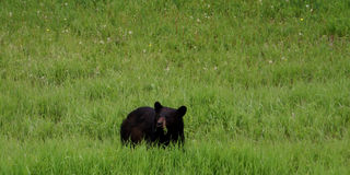 Black Bear eating fresh green grass. A black bear has gone out in a open grass field to eat something stock images