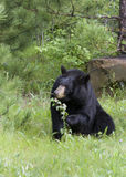 Black Bear Eating Leaves Royalty Free Stock Photo