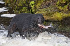 A black bear eating a salmon in a river with splash and blood Alaska Fast food. Close up stock images